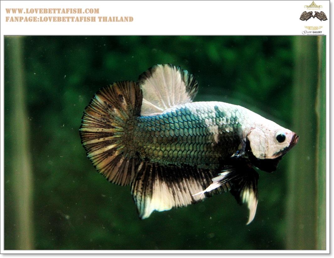 คัดเกรดปลากัดครีบสั้น-Hi- Quality Halfmoon Plakat Copper Quality Grade