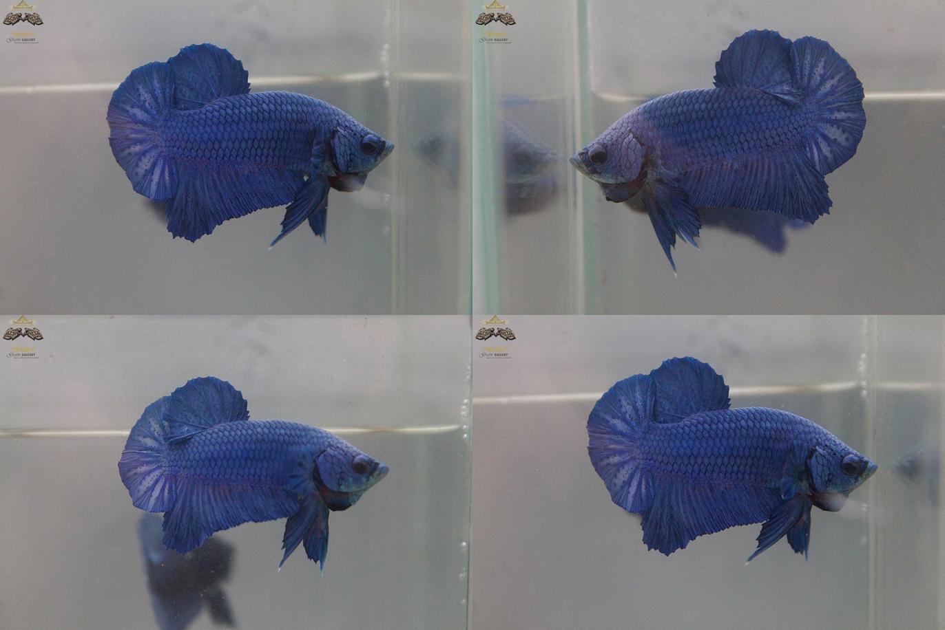 """(ขายแล้วครับ)""""คัดเกรด""""ปลากัดครีบสั้น-Halfmoon Plakats STEEL BLUE METALLIC"""