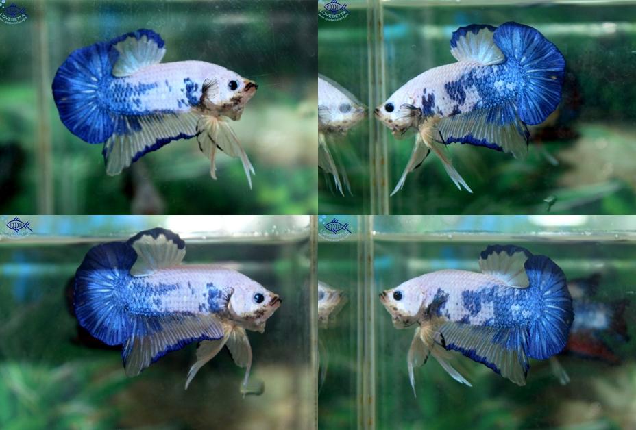 """(ขายแล้วครับ)""""คัดเกรด""""ปลากัดครีบสั้น-Halfmoon Plakats FANCY DRAGON OHMPK"""
