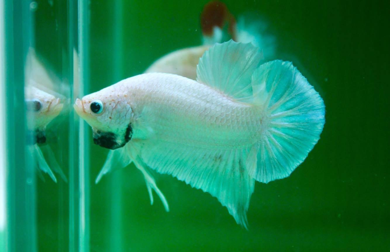 ปลากัดคัดเกรดครีบสั้น - Halfmoon Plakad White Dragon Quality Grade