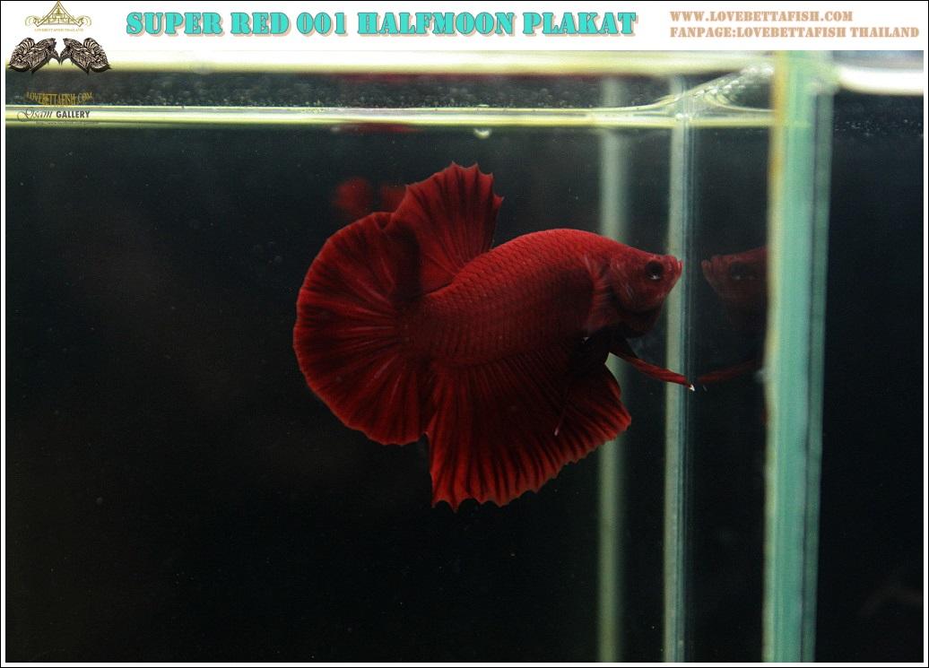 """(ขายแล้วครับ)""""คัดเกรด""""ปลากัดครีบสั้น-Halfmoon Plakats Super Red 001"""
