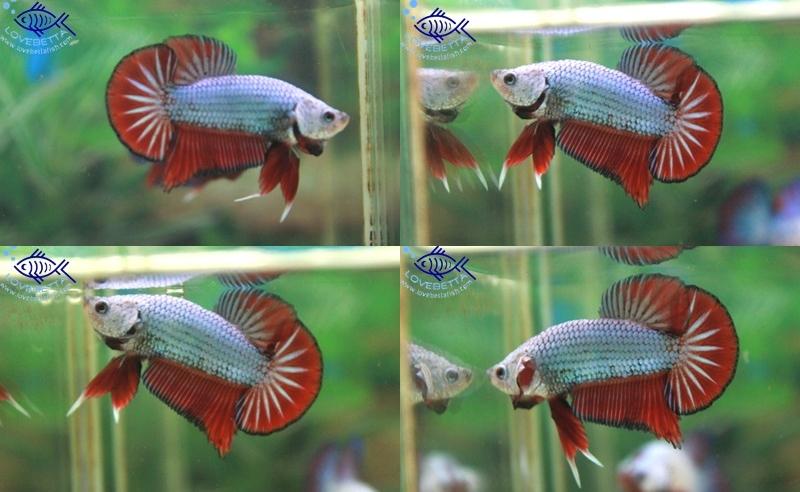 (ขายแล้วครับ)ปลากัดครีบสั้น-Halfmoon Plakats Fancy Dragon