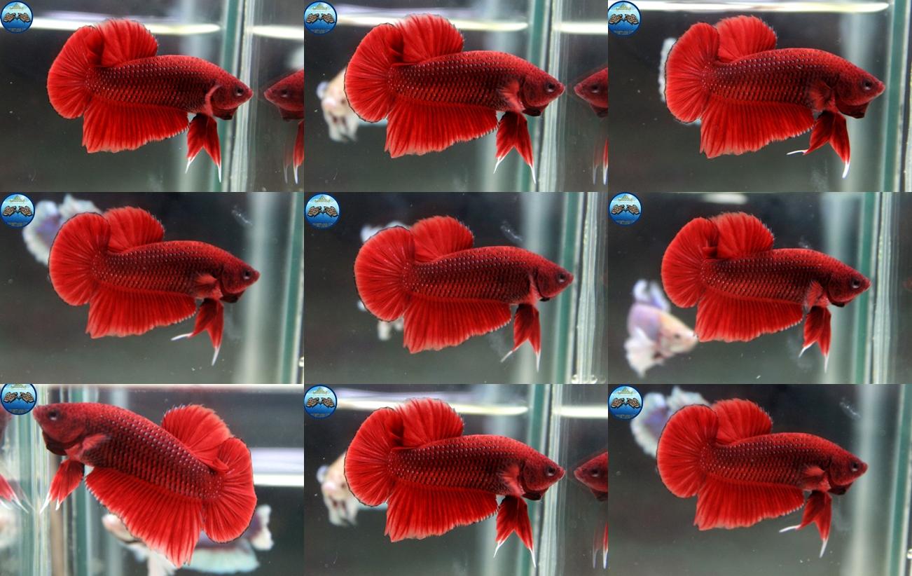 """(ขายแล้วครับ)""""คัดเกรด""""ปลากัดครีบสั้น-Halfmoon Plakats Red"""